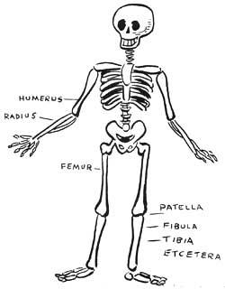 unlabeled skeleton diagram  unlabeled  free engine image