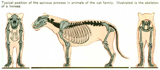 Typical position of the spinous process in animals of the cat family. Illustrated is the skeleton of a lioness