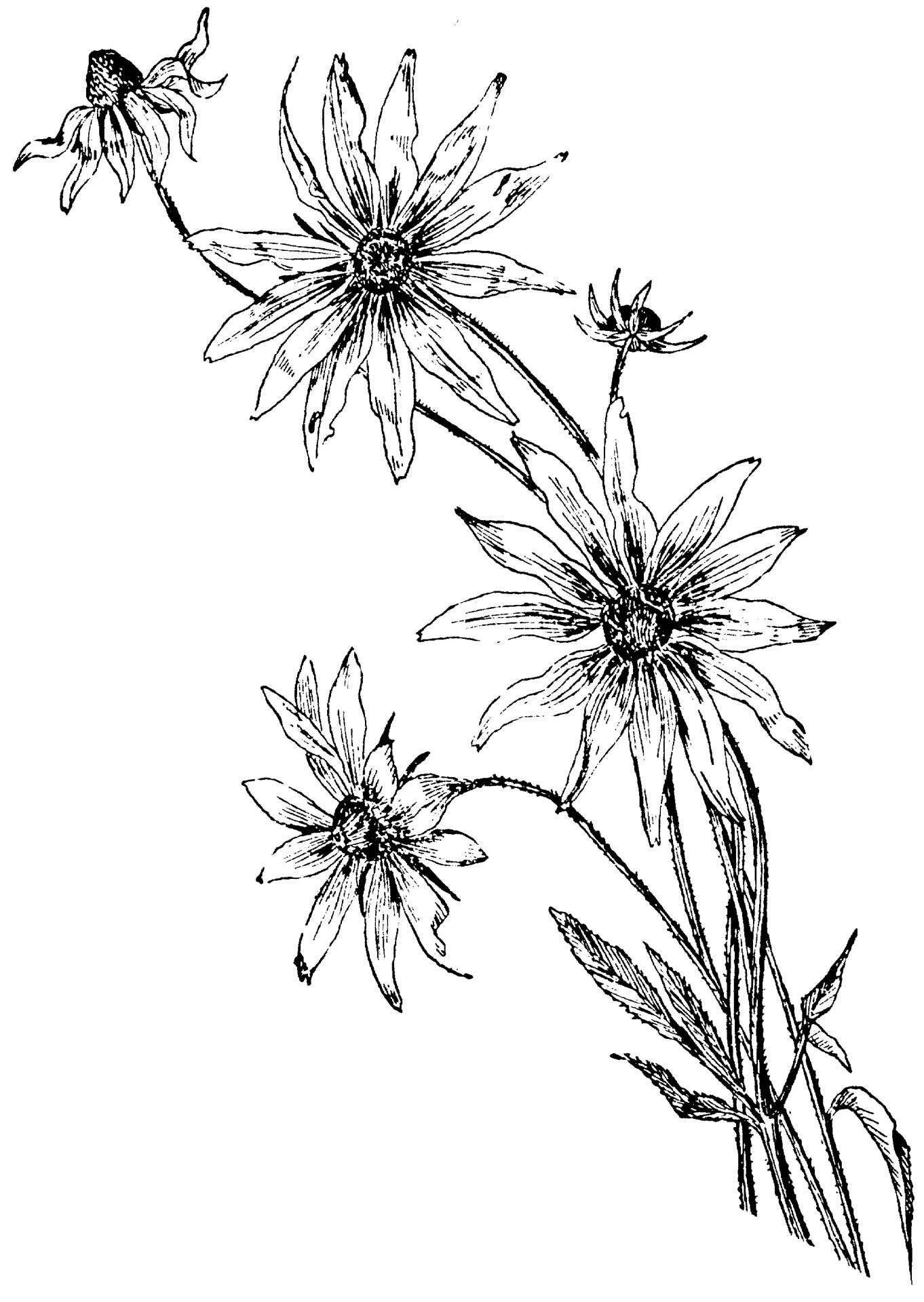 Coloring Pages   Daisy