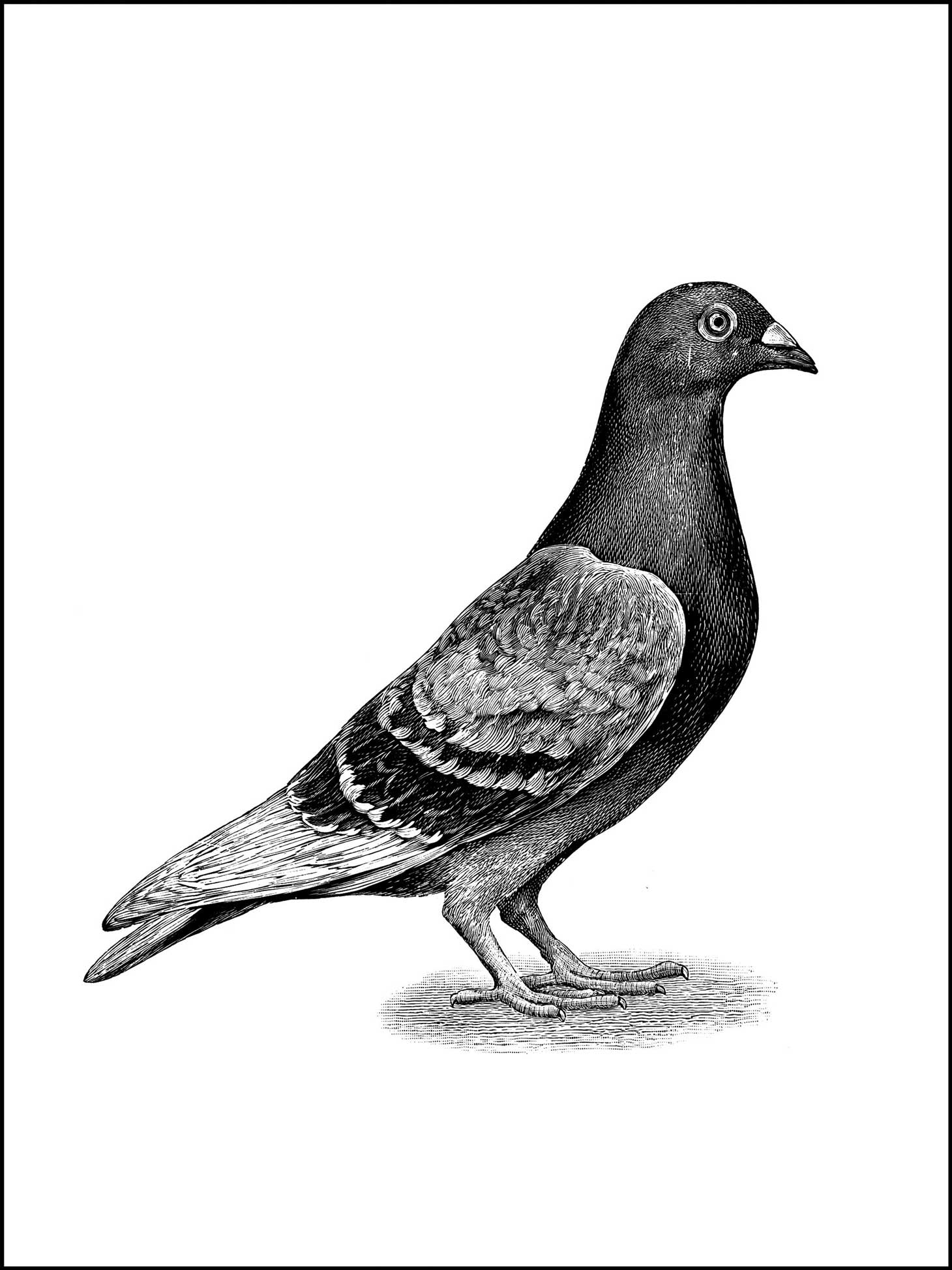 Coloring Pages   A Pigeon, Or Bird To Color