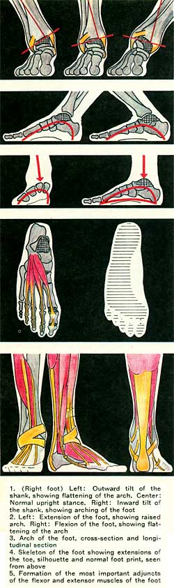 1. (.Right foot) Left: Outward tilt of the shank, showing flattening of the arch. Center: Normal upright stance. Right: Inward tilt of the shank, showing arching of the foot. 2. Left: Extension of the foot, showing raised arch. Right: Flexion of the foot, showing flattening of the arch. 3. Arch of the foot, cross-section and longitudinal section. 4. Skeleton of the foot showing extensions of the toe, silhouette and normal foot print, seen from above. 5. Formation of the most important adjuncts of the flexor and extensor muscles of the foot