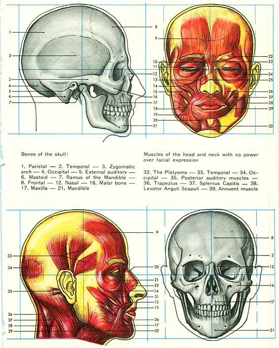 the names of the head muscles.