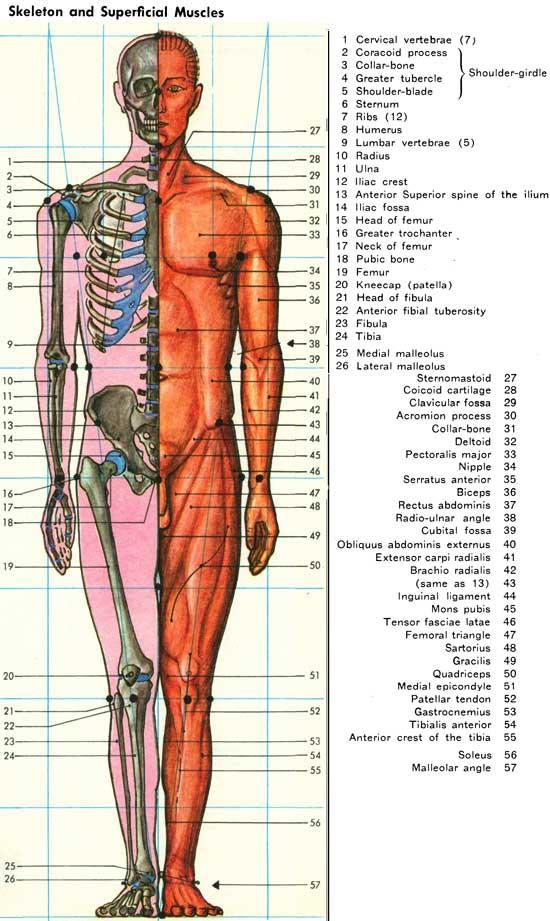 Skeletonsuperficialg